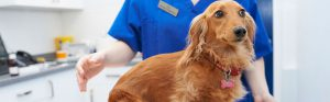 dachshund-with-vet8